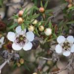 manuka blossom