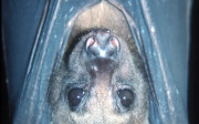 bulmer's fruit bat