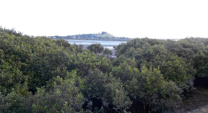 mangroves on the Manukau harbour