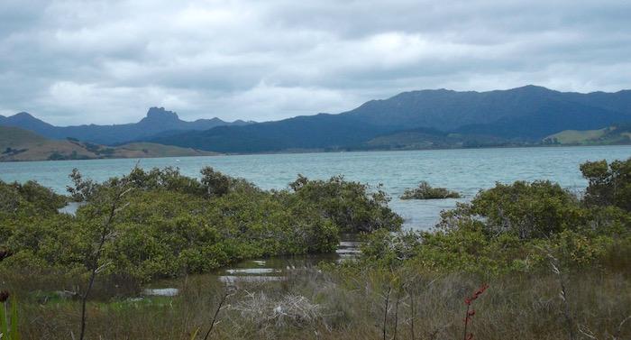 Mangroves at Matarangi