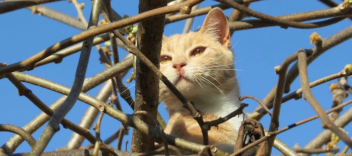 Cameo the cat in the kiwifruit vine. Photo by Dani Edwards, paid for in Time Bank credits.