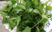 Stinging nettles on tray Urtica dioica